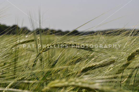 Unripe barley growing in a field