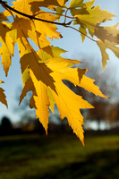 Silver Maple Autumn Foliage